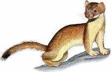 Long-tailed Weasel, Illustration