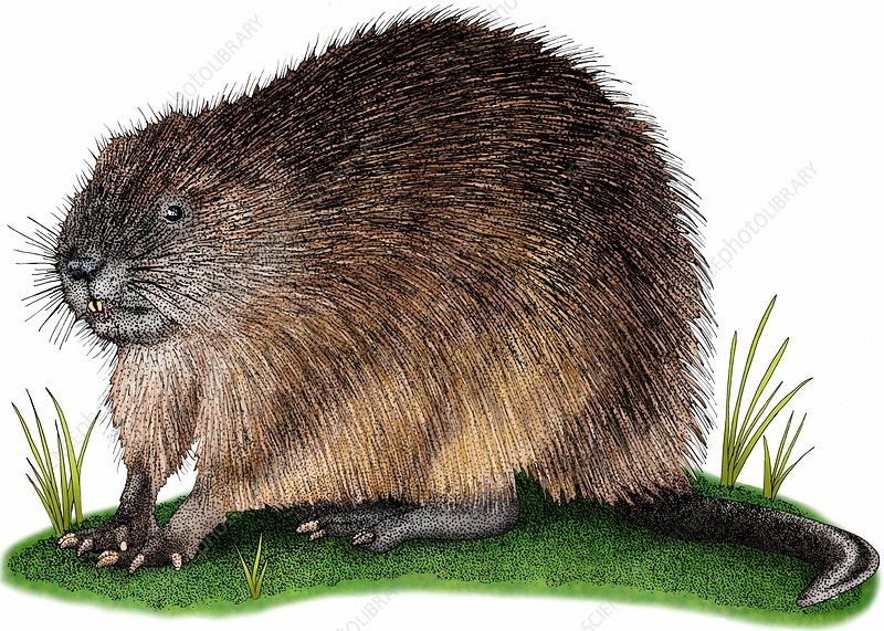 Muskrat, Illustration