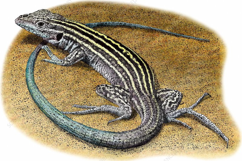 New Mexico Whiptail Lizard, Illustration