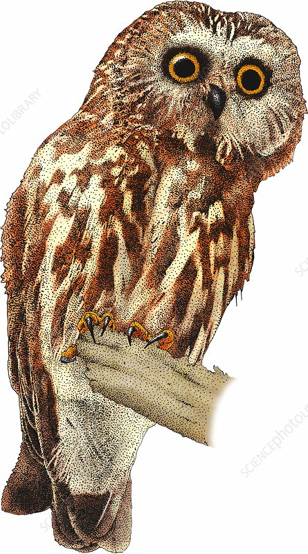 Northern Saw Whet Owl, Illustration