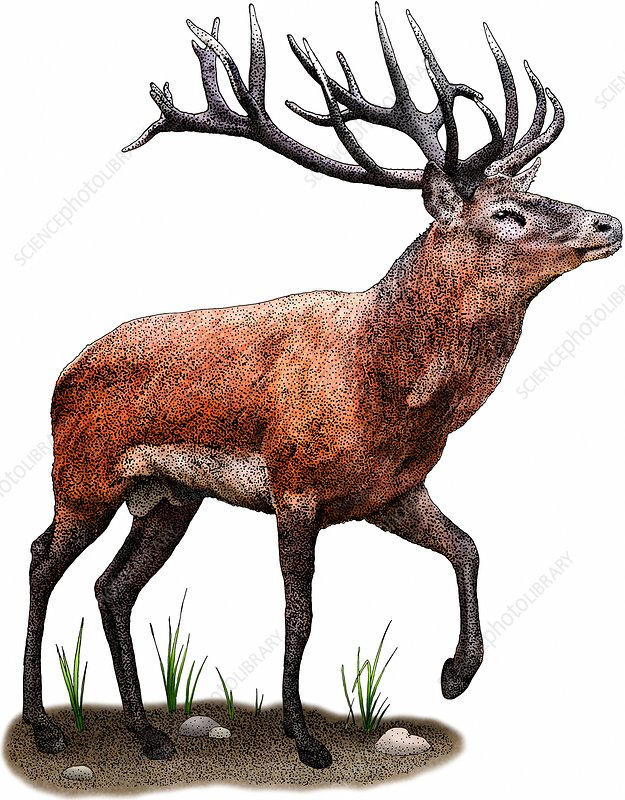 Red Deer, Illustration