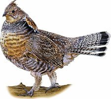 Ruffed Grouse, Illustration