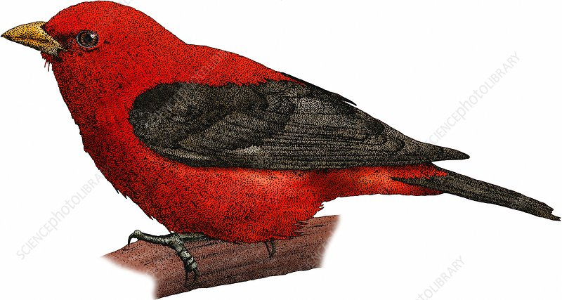 Scarlet Tanager, Illustration