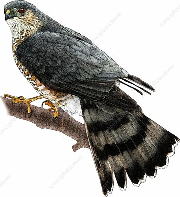 Sharp-shinned Hawk, Illustration