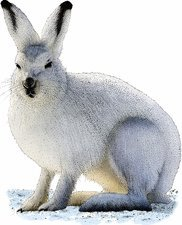 Snowshoe Hare, Illustration