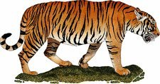 South China Tiger, Illustration
