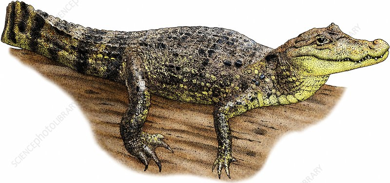 Spectacled Caiman, Illustration