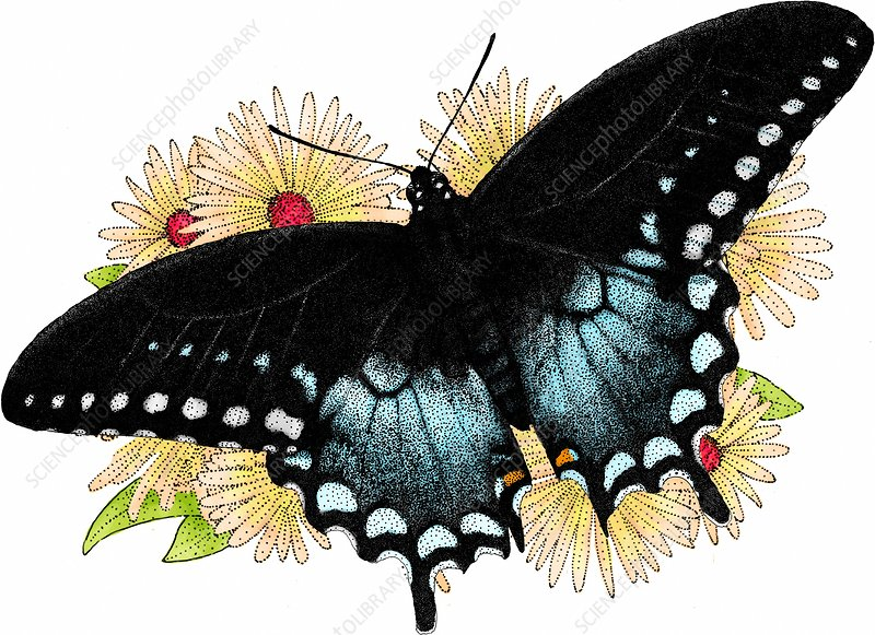 Swallowtail Butterfly, Illustration