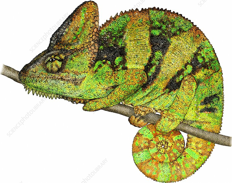 Veiled Chameleon, Illustration