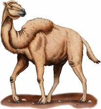 Western Camel, Illustration