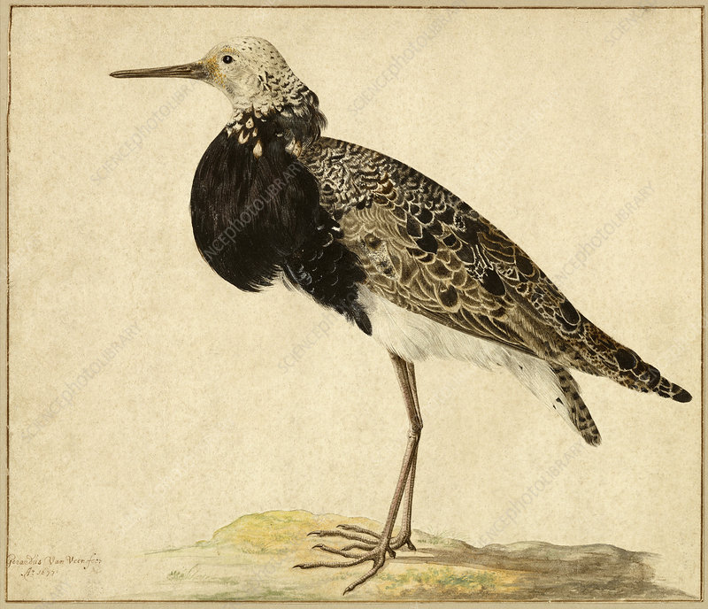 Standing Ruff, 1677, Illustration