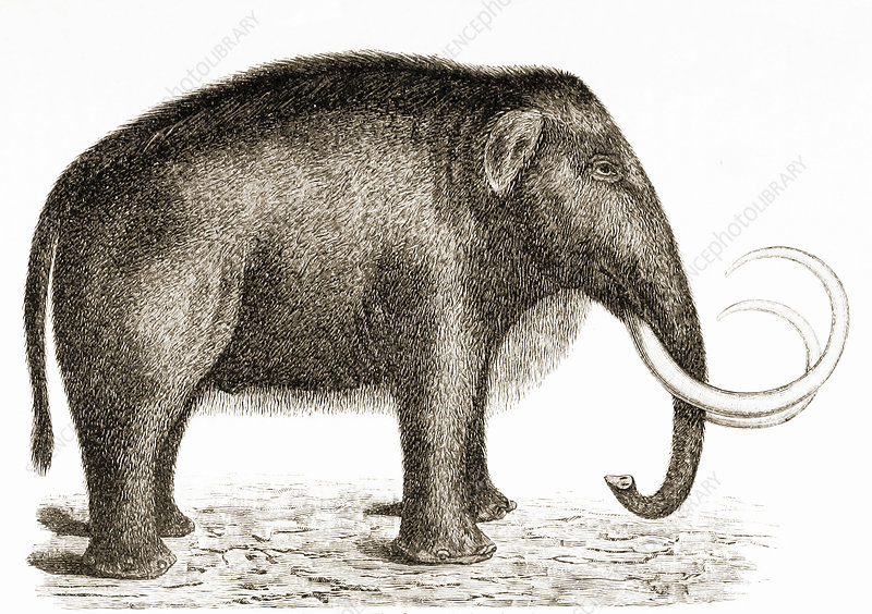 Woolly Mammoth, Illustration