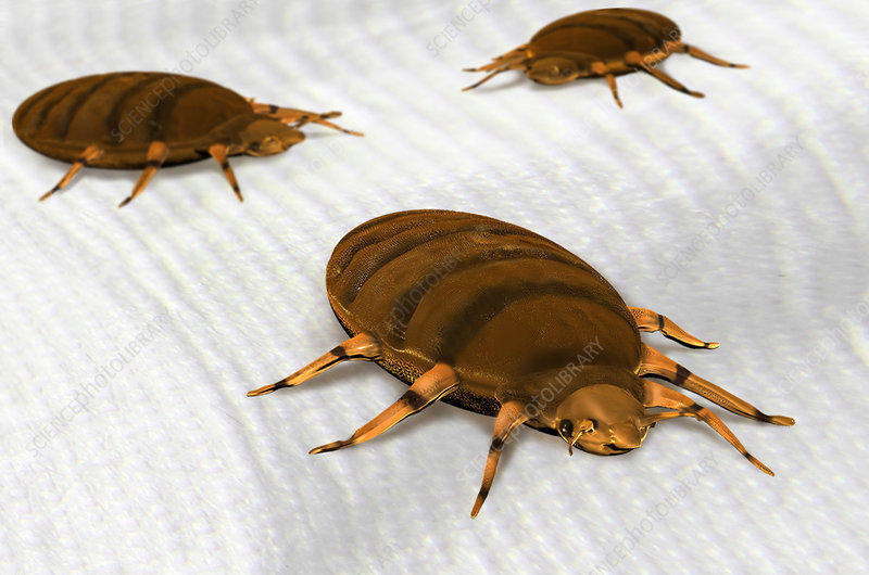 Bed Bugs, Illustration