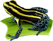 Reticulated Poison Frog, Illustration