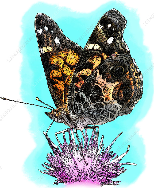 American Painted Lady, Illustration