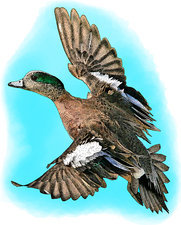 American Wigeon, Illustration