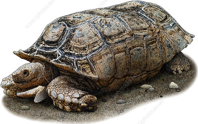 Chaco Tortoise, Illustration