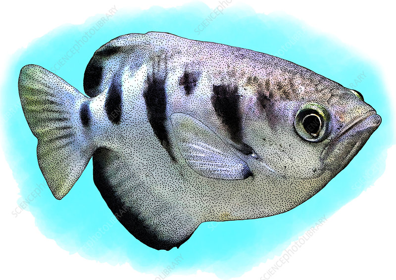Banded Archerfish, Illustration
