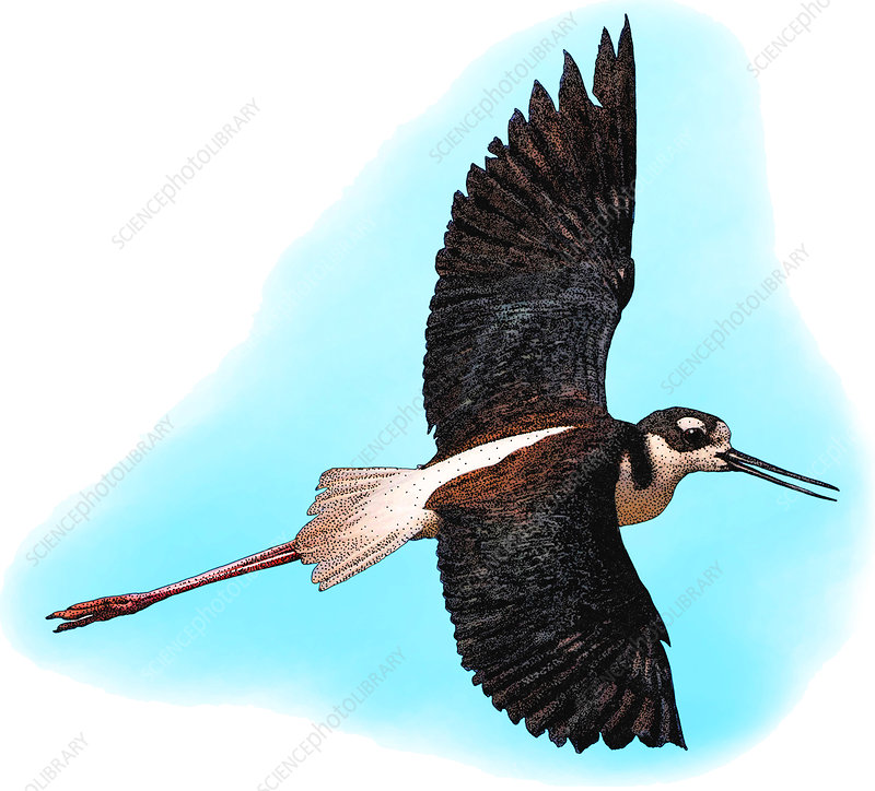 Black-necked Stilt, Illustration