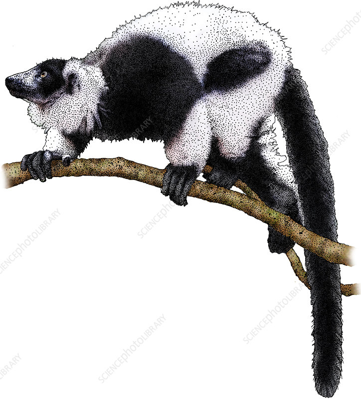 Ruffed Lemur, Illustration