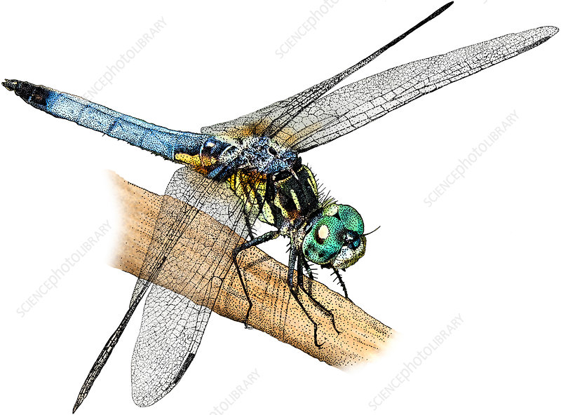 Blue Dasher, Illustration