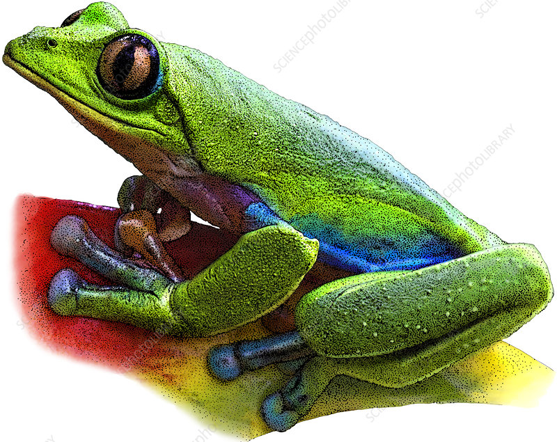 Blue-sided Leaf Frog, Illustration