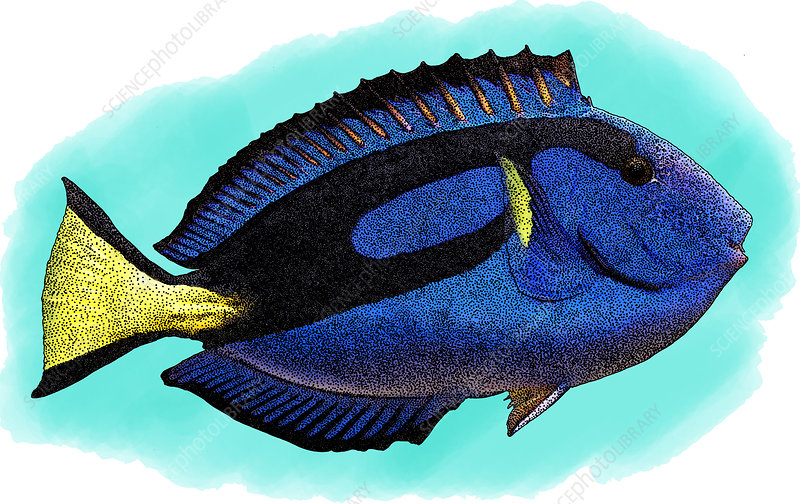 Blue Tang, Illustration