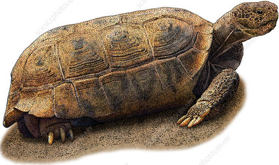 Bolson Tortoise, Illustration