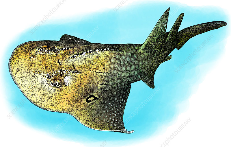 Bowmouth Guitarfish, Illustration