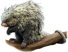 Brazilian Porcupine, Illustration