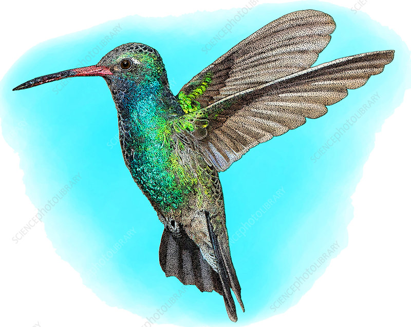 Broad-billed Hummingbird, Illustration