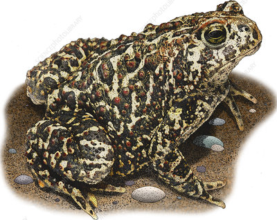 Canadian Toad, Illustration