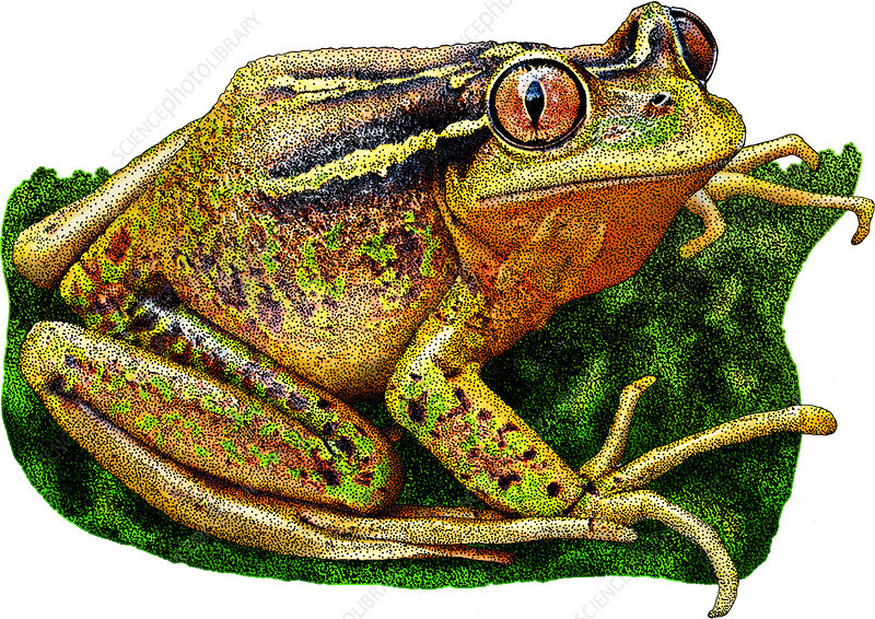 Chilean Tree Frog, Illustration