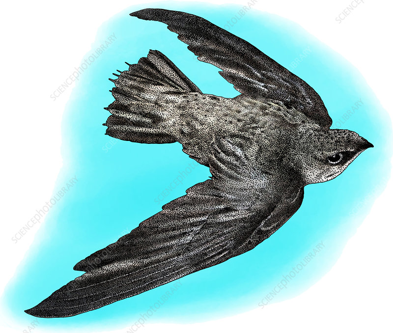 Chimney Swift, Illustration