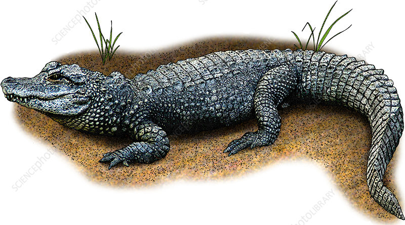 Chinese Alligator, Illustration