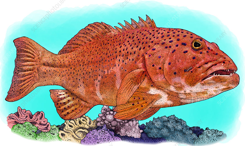 Coral Trout, Illustration