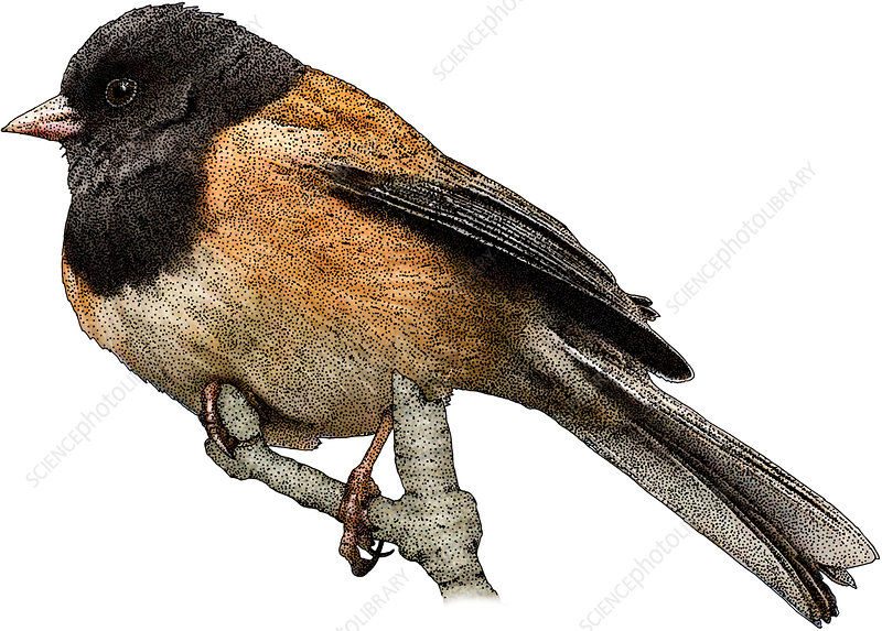Dark-eyed Junco, Illustration