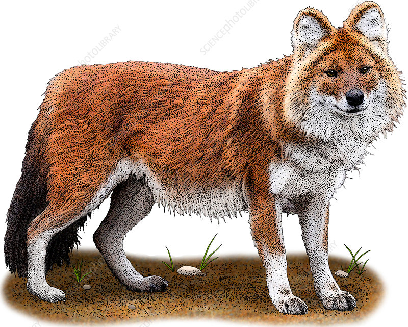 Dhole, Cuon alpinus, Illustration