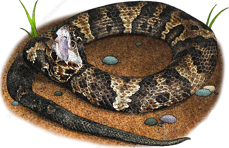 Eastern Cottonmouth, Illustration