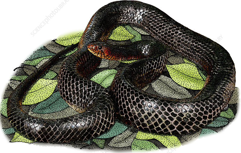 Eastern Indigo Snake, Illustration