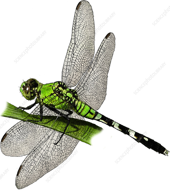 Eastern Pondhawk, Illustration