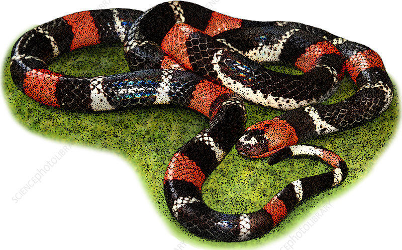 South American Coral Snake, Illustration