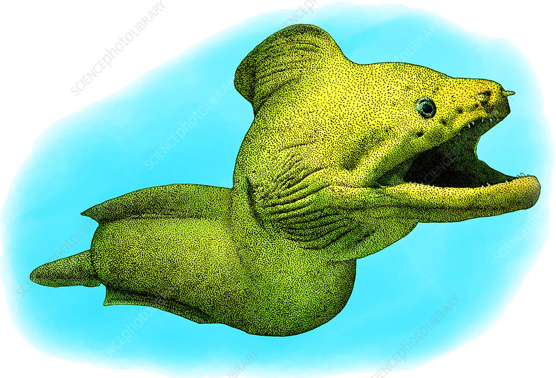 Giant Moray, Illustration