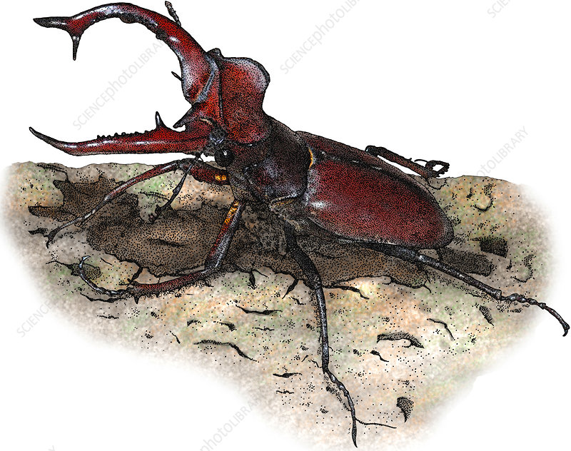 Giant Stag Beetle, Illustration