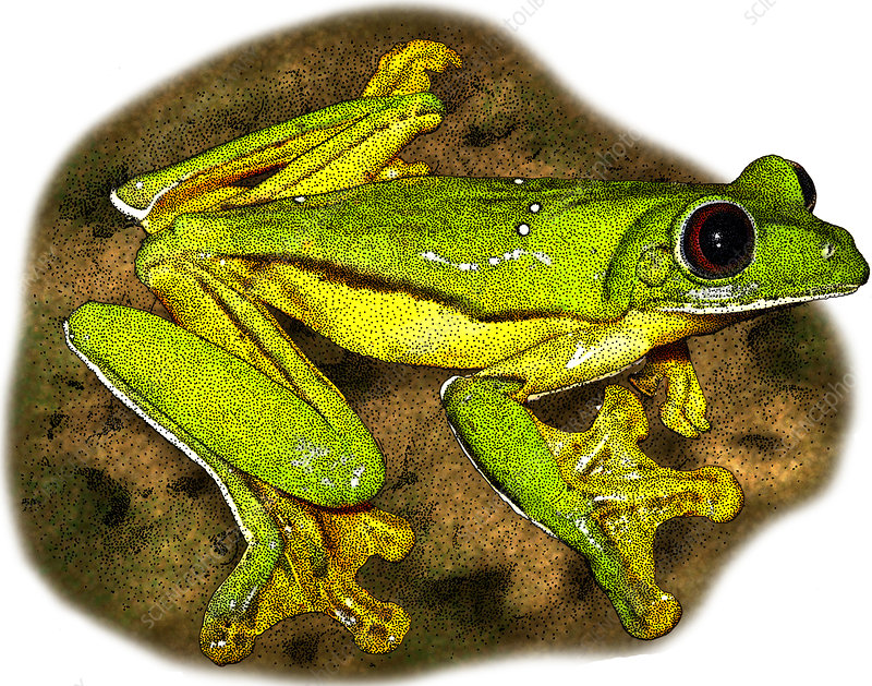 Gliding Tree Frog, Illustration