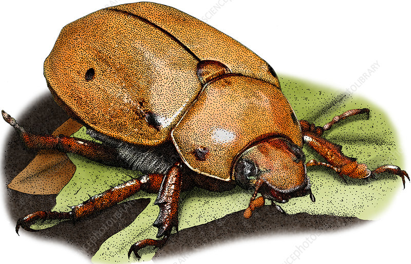 Grapevine Beetle, Illustration