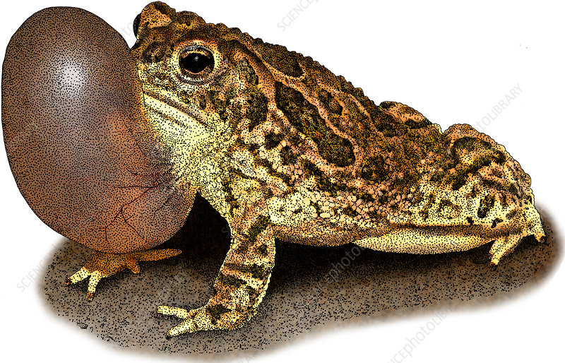 Great Plains Toad, Illustration