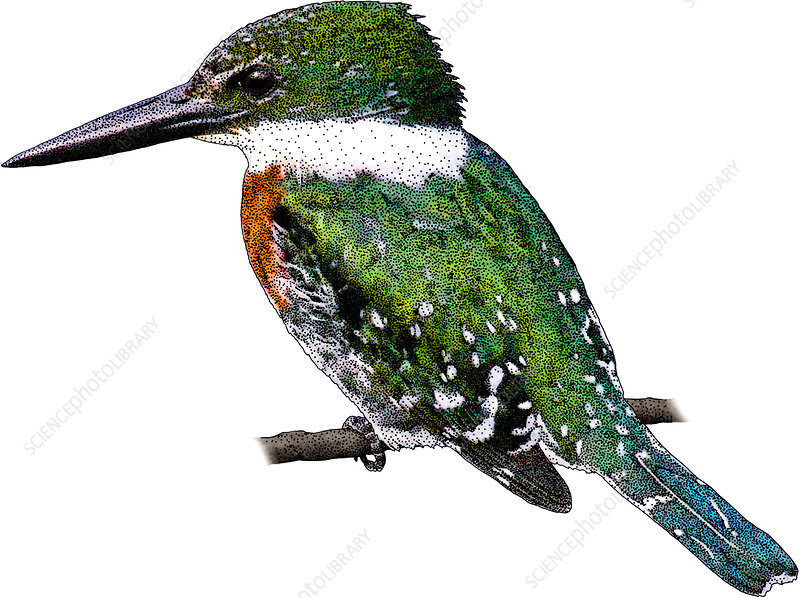 Green Kingfisher, Illustration