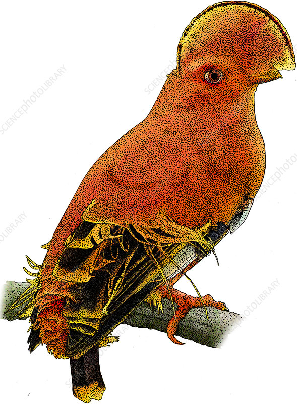 Guianan Cock-of-the-rock, Illustration