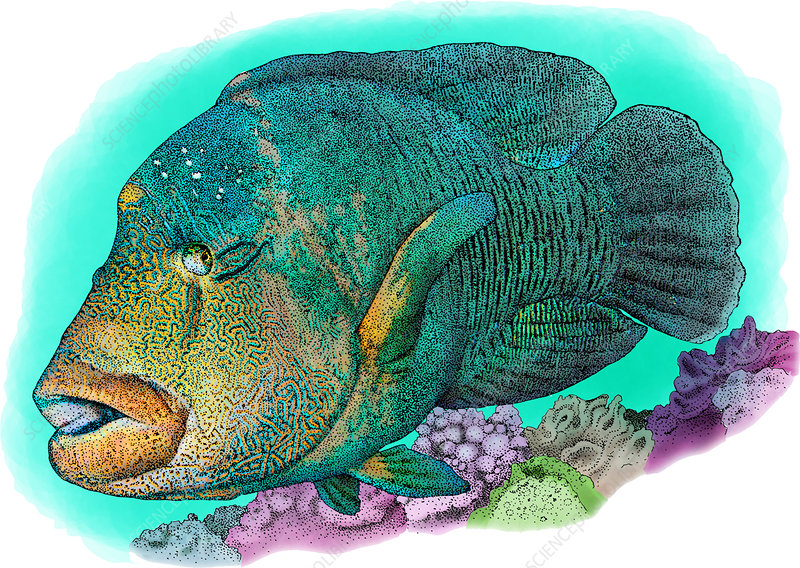 Humphead Wrasse, Illustration